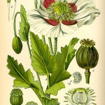 Papaver_somniferum_PD